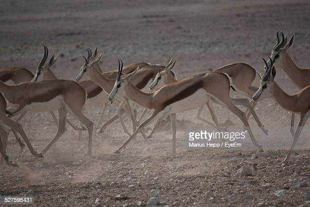 group of antelopes running - stampeding stock pictures, royalty-free photos & images