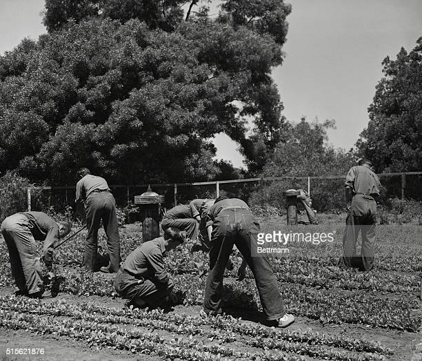 A group of AntiNazi war prisoners work among the vegetables grown in the victory garden maintained in the internment area on Angel Island under the...
