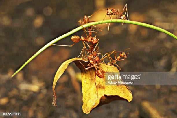 Group of ants biting small leaf on long curve grass.