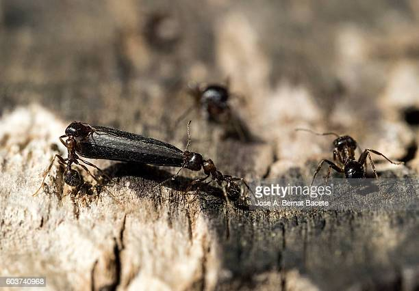 Group of ants loading with pipes of gorasol on a trunk