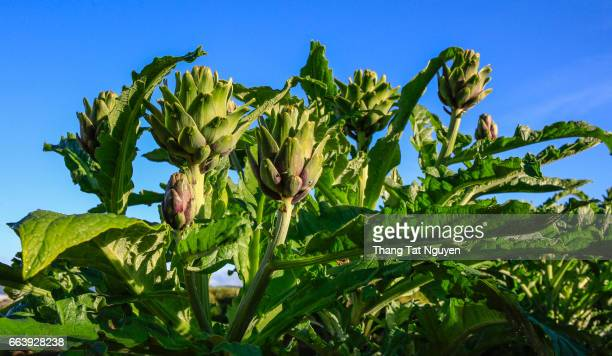 Group of artichokes on field