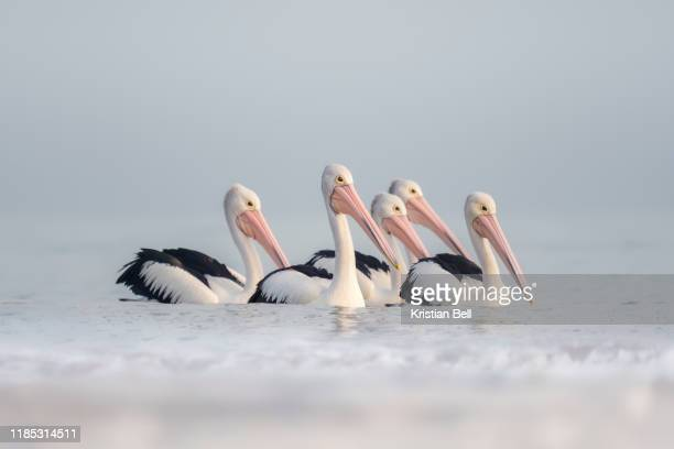 group of australian pelicans pelecanus conspicillatus) swimming in the sea at dawn - animal stock pictures, royalty-free photos & images