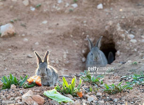Group of babies of rabbit eating and playing close to his burrow ( Species Oryctolagus cuniculus.)
