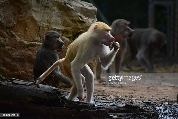 A group of baboons including one albino during the early morning feeding at Ramat Gan Safari The Zoological Center Tel AvivRamat Gan is the largest...