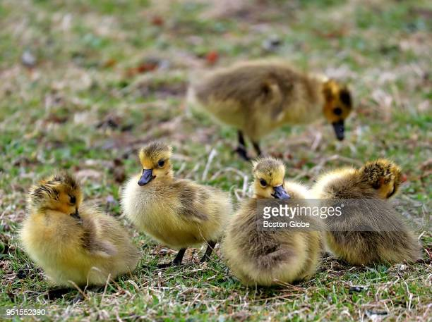 A group of baby Canada geese enjoy the grass along the banks of the Charles River in Boston on April 25 2018