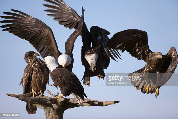 group of bald eagles perched on branches - home run ストックフォトと画像