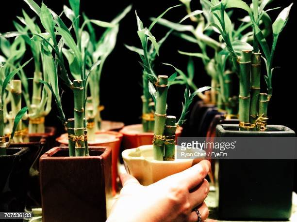 group of bamboo plants and human hand - bamboo plant stock photos and pictures