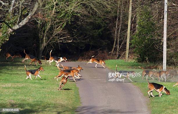 A group of beagles running across a path; northumberland england