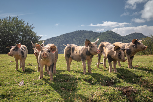 Group of beautiful family of pigs searching and asking for food looking at camera 1057264988