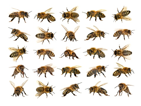 group of bee or honeybee on white background, honey bees 843452074