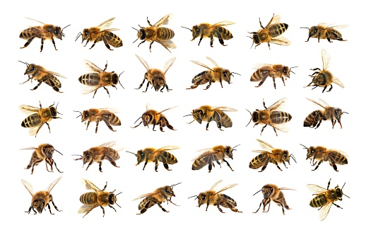 group of bee or honeybee on white background, honey bees 942114740