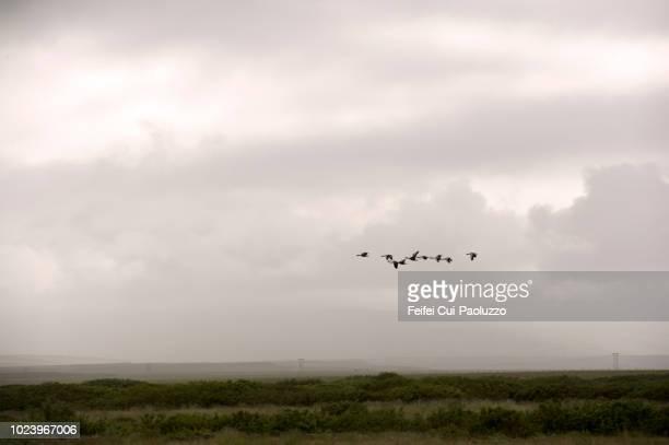 group of birds at vopnafjordur, in northeast iceland - austurland stock-fotos und bilder