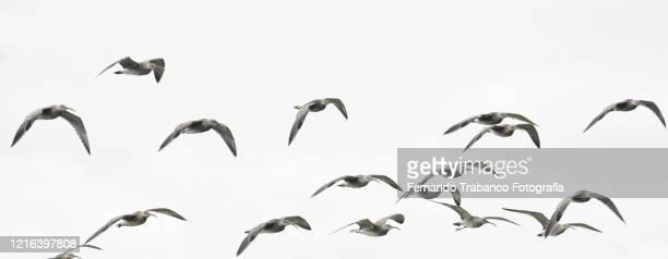 group of birds in flight - 水鳥 ストックフォトと画像
