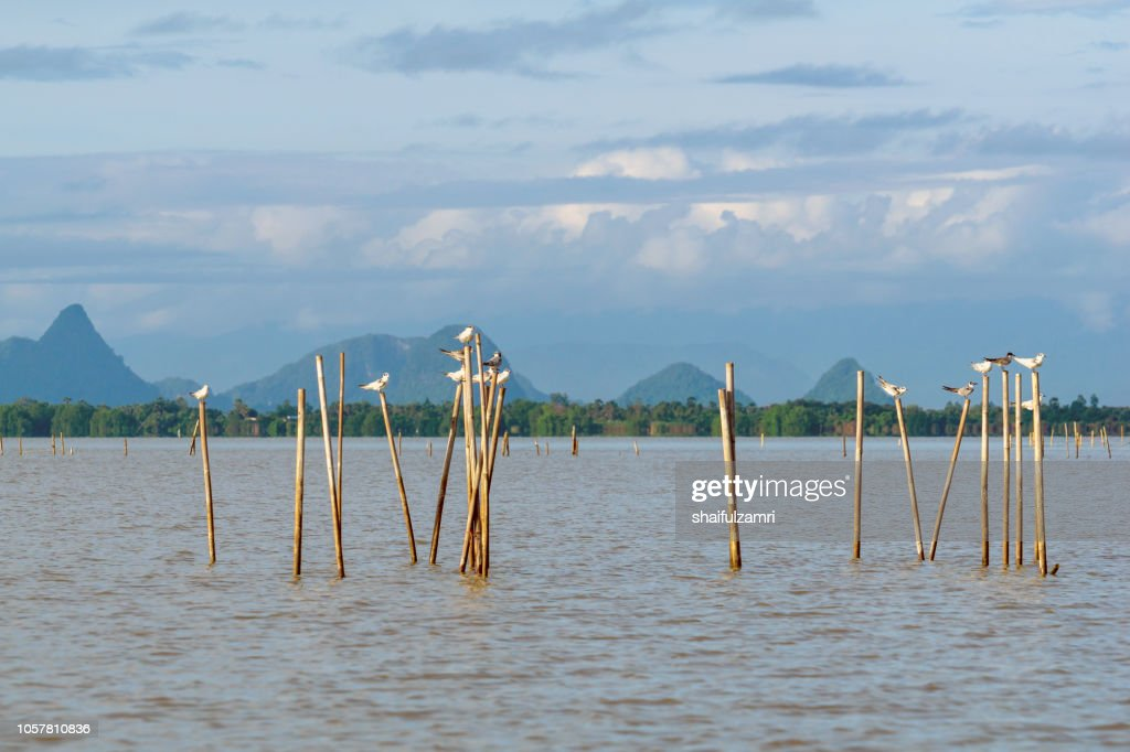 Group of birds sitting on the bamboo perch at lake Thale Noi, Phatthalung, Thailand. : Stock Photo