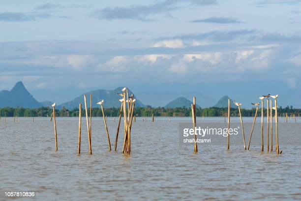 group of birds sitting on the bamboo perch at lake thale noi, phatthalung, thailand. - shaifulzamri stock pictures, royalty-free photos & images