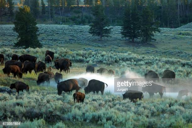 Een groep van Bison vechten in het Nationaal Park Yellowstone