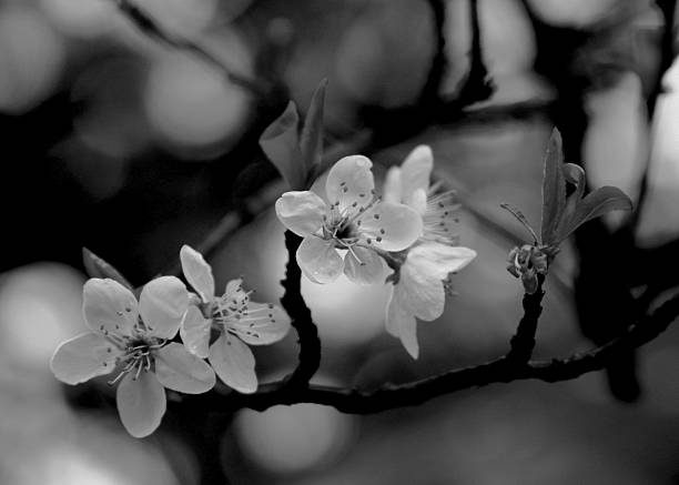 Group Of Black And White Cherry Blossoms