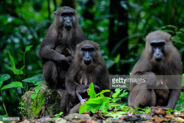 A group of Black Sulawesi Monkeys is seen on the MarosBone road at Bantimurung Bulusaraung National Park in Maros South Sulawesi Indonesia on April...