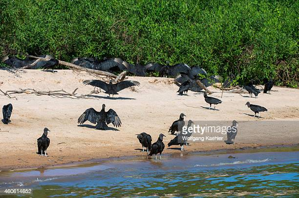 Group of Black vultures on a beach along the Cuiaba River near Porto Jofre in the northern Pantanal, Mato Grosso province in Brazil.