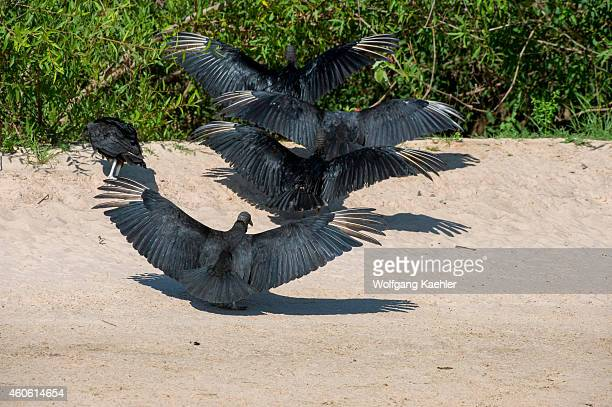 Group of Black vultures with wings spread on a beach along the Cuiaba River near Porto Jofre in the northern Pantanal, Mato Grosso province in Brazil.