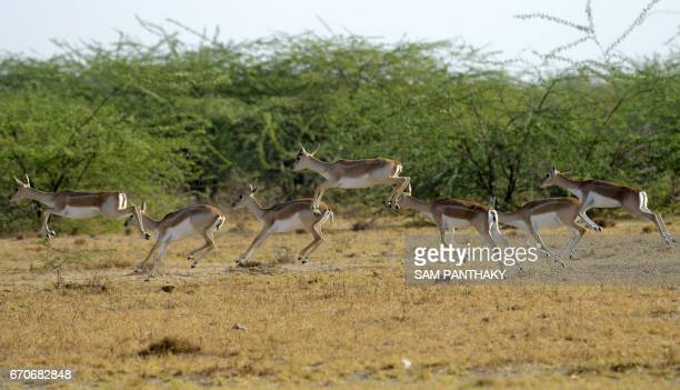 A group of blackbucks also known as the Indian antelope run in a field at Kadi Taluka some 30kms from Ahmedabad on April 20 2017 / AFP PHOTO / SAM...