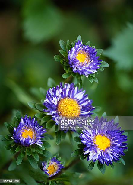 Group of Blue Aster Flowers