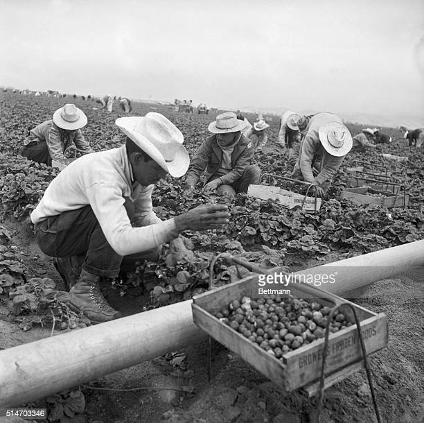 Group of braceros, migrant Mexican workers allowed into the United States for a limited time, harvest a field of strawberries in the Salinas Valley.