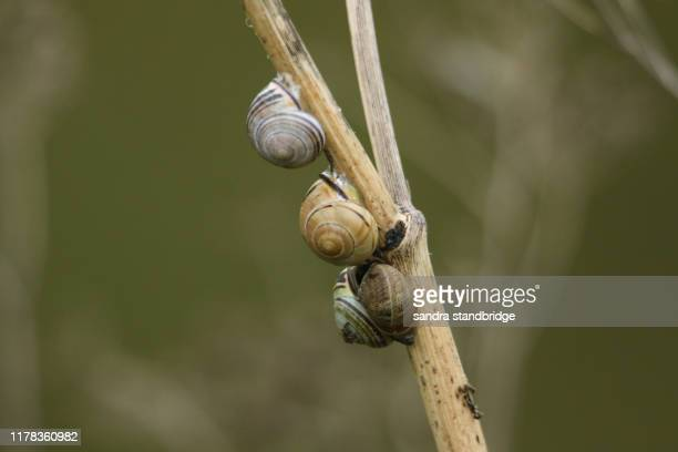 a group of brown-lipped snail, cepaea nemoralis, and a garden snail, cornu aspersum, resting on the stem of a dead hemlock plant. - garden snail stock photos and pictures