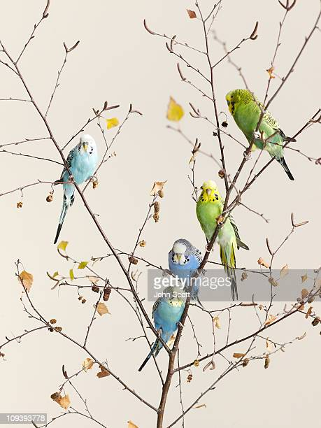 A group of budgies in a tree