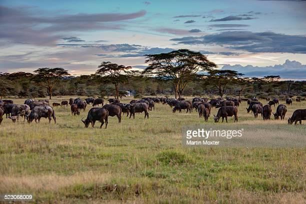 group of buffalo -syncerus caffer-, lake nakuru national park, kenya, east africa, africa, publicground - lake nakuru stock photos and pictures
