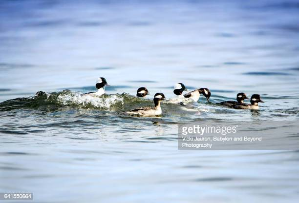group of buffleheads on the water at caumsett state park - huntington suffolk county new york state stock pictures, royalty-free photos & images