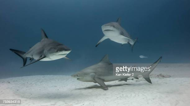 group of bull sharks, underwater view, playa del carmen, mexico - bull shark stock pictures, royalty-free photos & images
