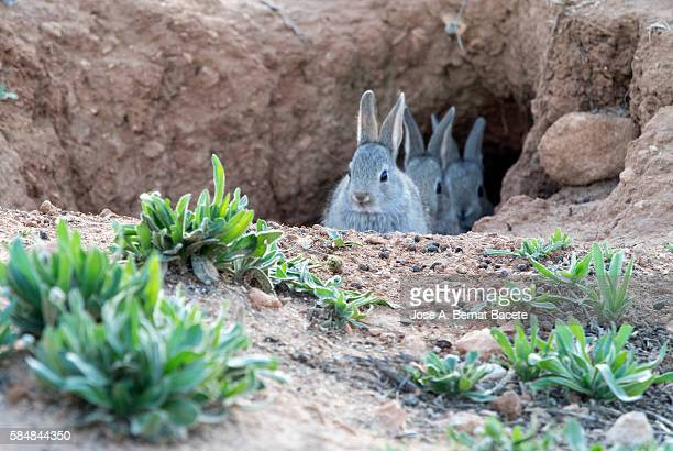 Group of bunnies peering through the hole in its burrow ( Species Oryctolagus cuniculus.)
