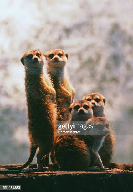 Group of Burrowing Diurnal Meerkats