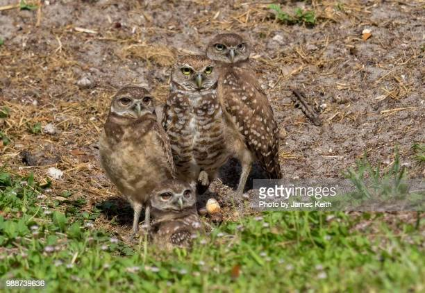 A group of burrowing owl chicks near their burrow under the watchful eye of one parent.