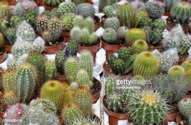 a group of cactii in a greenhouse at daylight. - emreturanphoto stock pictures, royalty-free photos & images
