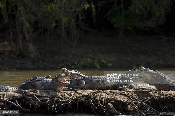 A group of caimans rests on one of the banks of the Paraguay river in Caceres Brazil the gateway to the Pantanal on August 27 2014 Often referred to...