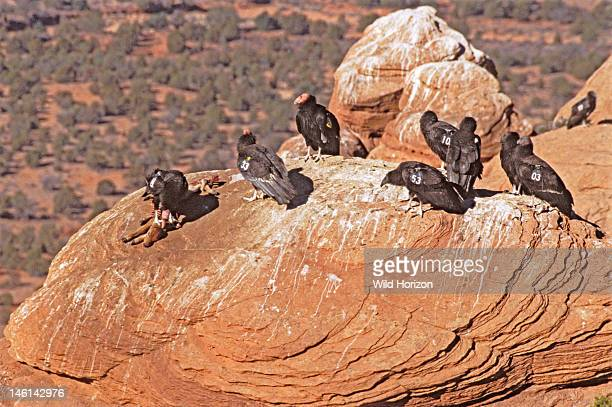 Group of California condors at Vermilion Cliffs release site in Arizona near the Grand Canyon Gymnogyps californianus One is feeding on a young goat...