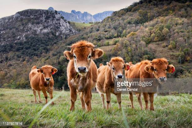 group of calves in the picos de europa national park - principado de asturias fotografías e imágenes de stock