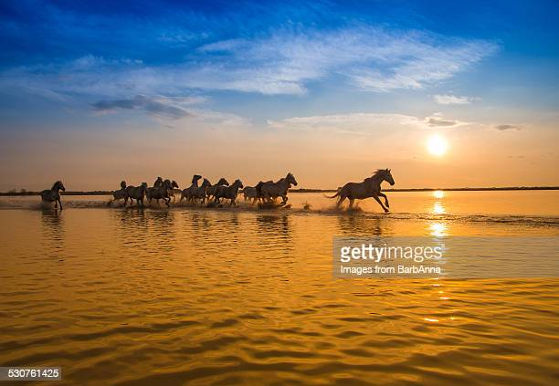 Group of Camargue Horses in the setting sun