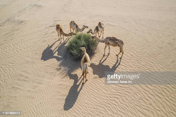 group of camels feeding in the desert, united arab emirates - animal stock pictures, royalty-free photos & images