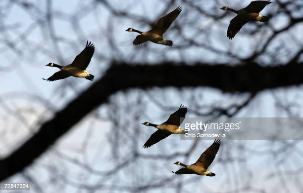 A group of Canada Geese fly over the Ellipse near the White House December 18 2006 in Washington DC The temperature reached 73degrees today narrowing...
