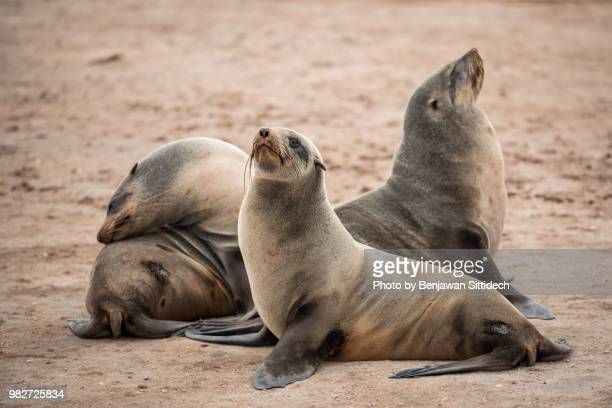 group of cape fur seal at cape cross seal reserve, a small headland in the south atlantic in skeleton coast, erongo region, western namibia. - foca imagens e fotografias de stock