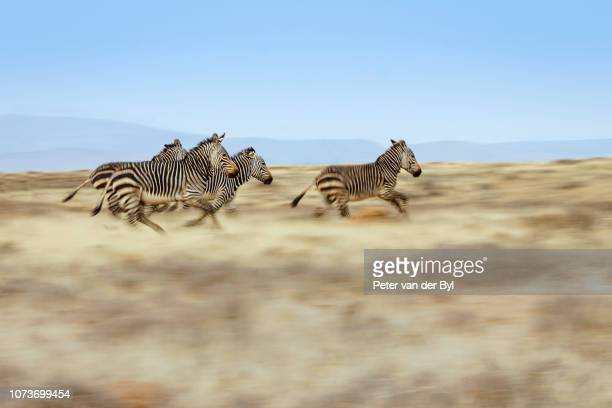 A group of Cape Mountain zebra Equus zebra running across the plains of the Mountain Zebra National Park Eastern Cape Province South Africa.