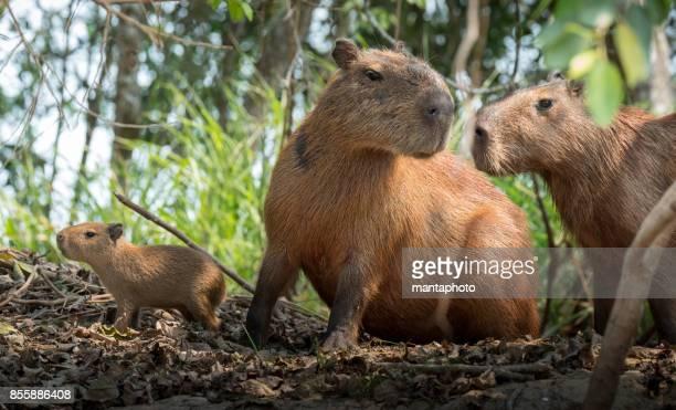 group of capybara in pantanal brazil - pantanal wetlands stock pictures, royalty-free photos & images