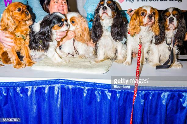 A group of Cavalier King Charles Spaniel dogs sit for a photograph during the annual Meet the Breed event ahead of the 141st Westminster Kennel Club...