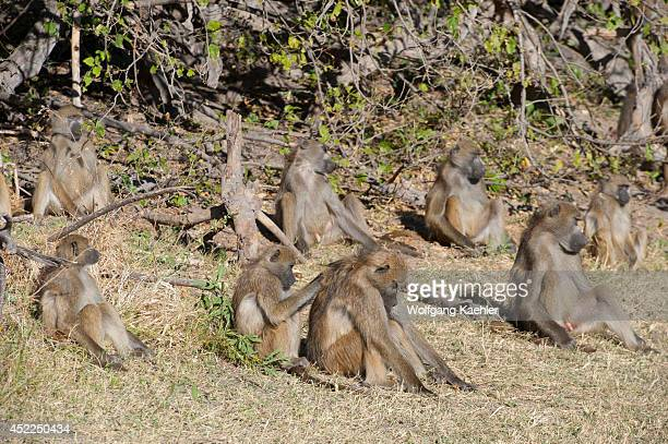 A group of Chacma baboons warming up in morning sunshine at the Linyanti Reserve near the Savuti Channel in northern part of Botswana