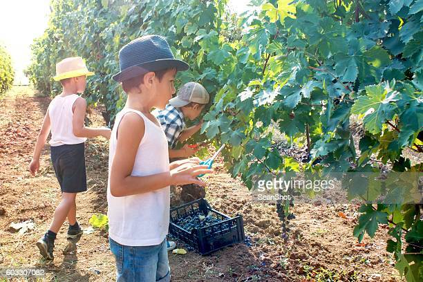 Group of Children Harvesting Bunches of Grapes in Vineyard