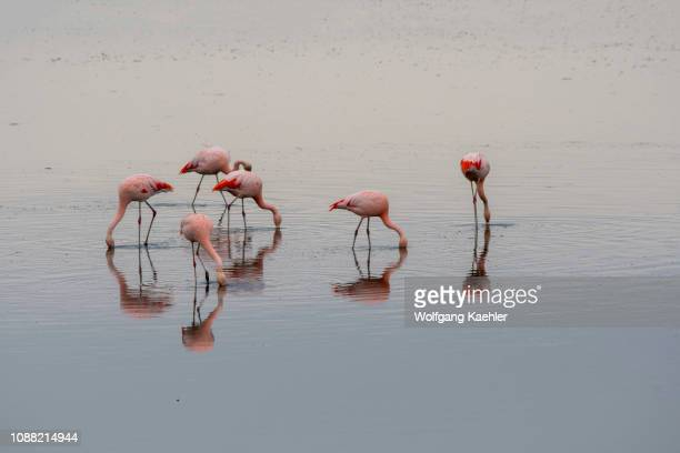 A group of Chilean flamingos are feeding in the water of the Laguna Nimez Bird Sanctuary in El Calafate Argentina