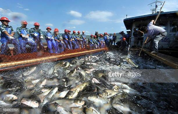 A group of Chinese fishermen gather to harvest some 30000 kilos of fish from Qiandao Lake in Hangzhou in eastern China's Zhejiang province on...